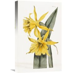 "Global Gallery 'Narcissi' by William Curtis Painting Print on Wrapped Canvas Size: 36"" H x 22.8"" W x 1.5"" D"