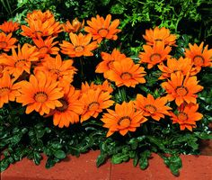 Annual Flower Seeds For Sale 50 Kinds Of Gazania Seeds
