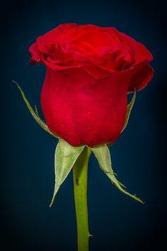 Rose, Rosa Vermelha, Vermelho, Flor