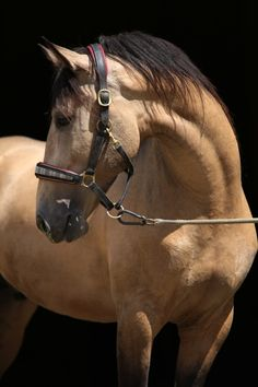 The black background and great lighting really bring out the golden hues in this buckskin horse's coat.
