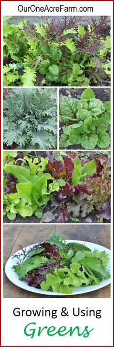 Growing and Using Greens covers lettuce family, mustard family (mustard greens, kale, collards, turnip, arugula, etc.), and beet family (beets, chard, spinach), for mesclun salad mixes and cooked greens. Permaculture principles like species diversity, inter-planting, and succession planting maximize yield and nutrition, and prevent pest problems. Transplanting, direct seeding, harvesting, and recipes.