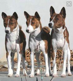 Brindle and White Basenji trio.