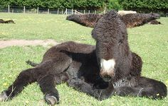 Baby Donkey, Cute Donkey, Mini Donkey, Donkey Donkey, Baby Cows, Donkey Breeds, Rare Horse Breeds, Animals And Pets, Baby Animals
