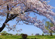 平城宮跡の桜たち