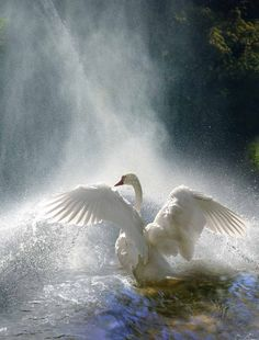 Stunning, swan, bird, wings, bath, waterfall, water, waves, cute, nuttet, feathers, photo, amazing, beautiful.