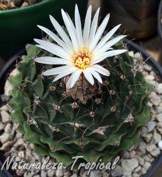 Cactus Obregonita en floración, Obregonia denegrii
