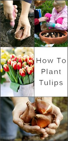 Planting tulips in a container for next spring