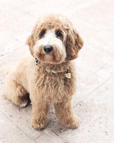 #miniaturelabradoodle hashtag on Instagram • Photos and Videos Miniature Labradoodle, Australian Labradoodle, Photo And Video, Videos, Dogs, Photos, Animals, Instagram, Pictures