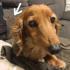 * ミーくんにドレッドヘアにされました🕺🏻🕺🏻 彼はいつもポテトの耳の毛をカミカミしてドレッドにしちゃいます🐒💕 なんで??笑 * * #犬#dog#愛犬#わんこのいる暮らし#犬は家族#大事な存在#チワワ#ペキニーズ#mix犬#チワニーズ#ペキチワ#犬バカ部#フワモコ部#チワワ部#チワワ大好き#ダックス#ダックス部#可愛い