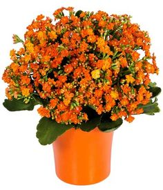 This is the Kalanchoe plant I want to buy to use with the Moon Vista carnations for the boutonnieres,