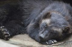 Wolverine (Gulo gulo). Photo by Tidwell Family (at https://www.flickr.com/photos/tidwellfamily/20364136655/).