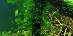 Taxiphyllum 'Spiky' - Tropica Aquarium Plants