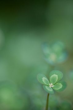 minimalist nature photography / four leaf clover / lucky aesthetic / irish mood / green color / simple macro / beautiful close up / iphone wallpaper inspiration