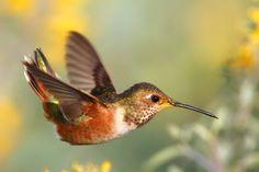 Allen's Hummingbird may be a female. Bolsa Chica(CA)