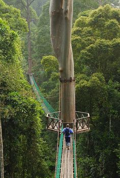 An amazing suspended walkway / path in a Borneo rainforest.   I'd probably have a panic attack trying to cross it, but beautiful!