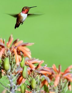How to Attract Hummingbirds without Attracting Unwanted Pests #gardening #gardens #birds
