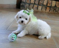 Hello , we have a male and female Maltese puppies to give out to a lovely home there are so cute and adorable , have all their health documents update, love to play . Pets For Sale, Puppies For Sale, Funny Animals, Funny Pets, Pet Dogs, Your Pet, Adoption, Maltese Puppies, Sweet