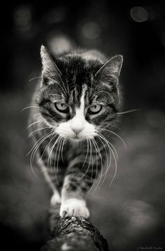 Catwalk by Jen MacNeill Animals And Pets, Cute Animals, Funny Animal Photos, Cat Playground, Cat Photography, All About Cats, Beautiful Cats, Cat Life, Cool Cats