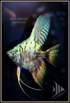 """$11 Blue Marble Rainbow Widefins Here's a special variant on the blue marbles that are so popular for us. The addition of a single gold gene to the blue marbles gives them awesome RAINBOW coloration throughout their fins and bodies. The coloration only improves with age. The gold gene is essentially """"hidden"""" but we have shown it has a very nice effect on our blue marble lines."""