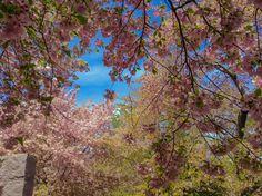 Cherry Blossoms, Washington DC