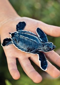 Cayman Islands - baby turtle