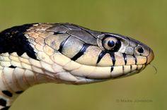 Grass snake, by Mark Johnson