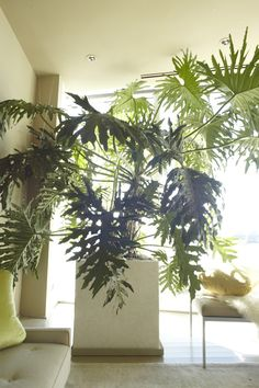 My philodendron is like the perfect chair -- inviting and elegant. It thrives in my living room in full or partial sun with super-aerated soil. (Martha Stewart Living)