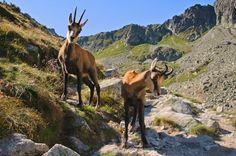 počas prechádzok môžete natrafiť taktiež na zvedavé kamzíky Moose Art, Earth, Jean Auel, Travel, Animals, Trips, Inspired, Children, Viajes
