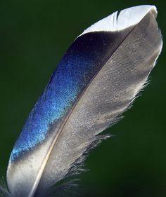mallard feather - Google Search