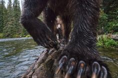 Terrestrial Wildlife Finalist: Yukon River watershed, Canada To capture this view of a mother grizzly bear (Ursus arctos horribilis) and her cub, photographer Peter Mather set up a camera trap on a Photography Competitions, Photography Contests, World Photography, Wildlife Photography, Animal Photography, Digital Photography, National Geographic Photographers, Salmon Fishing, Nature Images