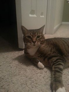 Meet Piper, she is an 8 yr old tabby, who has 6 toes on each paw and has white mittens on all four. She is is declawed and lives with two young kids and a St. Bernard right now, and she is the queen of the castle.  She is sweet and affectionate, and loves a good petting. Her owners are heartbroken to part with her, but their very young daughter is severely allergic and they have run out of options. You can see Piper at the Adoption Fair at Petco on Saturday and Sunday.