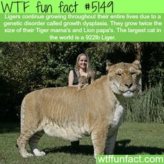The largest cat in the world - WTF fun facts  Liger = Part Lion, Part Tiger