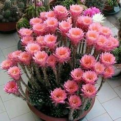 69 Excellent DIY Small Cactus Succulent Decoration Ideas - Onechitecture - New Ideas Succulent Gardening, Cacti And Succulents, Planting Succulents, Planting Flowers, Flowers Garden, Kinds Of Cactus, Small Cactus, Cactus Cactus, Cactus Decor