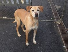 SAFE 3/26/14  Manhattan Center    My name is LEO. My Animal ID # is A0994579.  I am a neutered male tan and white labrador retr mix. The shelter thinks I am about 10 YEARS old.   I came in the shelter as a OWNER SUR on 03/22/2014 from NY 11435, owner surrender reason stated was PET HEALTH.   https://www.facebook.com/photo.php?fbid=776295189050029&set=a.611290788883804.1073741851.152876678058553&type=3&permPage=1