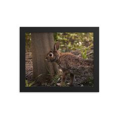 Framed poster of wild Canadian rabbit - Animals in Canada - Toronto photographer - Framed Photo Print - Home Decor - Wall Art Toronto Photographers, Home Decor Wall Art, Framed Art Prints, Animal Pictures, Rabbit, Canada, Poster, Photography, Animals