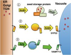 Model of protein transport to the plant vacuole from donor organelles such as the ER, Golgi, and trans-Golgi network (TGN). At least three pathways operate vacuolar transport in plants: 1) RAB5- and RAB7-dependent, 2) RAB5-dependent but RAB7-independent, 3) RAB5- and RAB7-independent pathways. © 2014 Kazuo Ebine. #UTokyoResearch