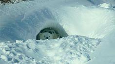 Canada, Wapusk National Park, polar bear, global warming