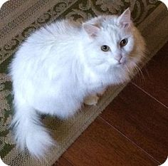 Miss Kitty – Beautiful 10 yo Turkish Angora Mix Urgently Seeks Quiet, Loving Home Due to Severe Owner Allergies – Supplies Included – Denver, Colorado Turkish Angora Cat, Angora Cats, Miss Kitty, Pet Adoption, Denver Colorado, Kitten, Puppies, Pets