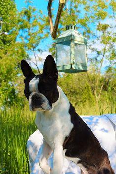 Mr.Bentley the #Bostonterrier#
