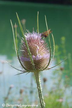 https://flic.kr/p/cSL27Q | Cardère | Lac de Gandaille : j'ai découvert un coin sauvage, peu attirant au 1er abord, mais d'une incroyable richesse en flore et petite faune sauvage - Lot-et-Garonne, Aquitaine, France (2012-07-21-Gandaille (12c)