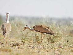 Kutch Great Indian Bustard Sanctuary - in Gujarat, India