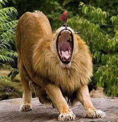 Cool Animal Pics - Yawning Lion