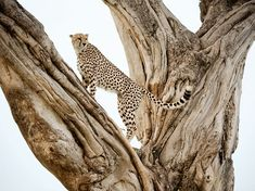 A male cheetah assumes a lookout pose in a fig tree in Kenya's Masai Mara National Reserve. Photograph by Frans Lanting,