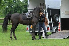 Almost has the look of The Black Stallion from Walter Farley's books. Original pin said warmblood.