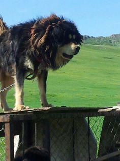 Mongolian Banhar Mongolian Mastiff
