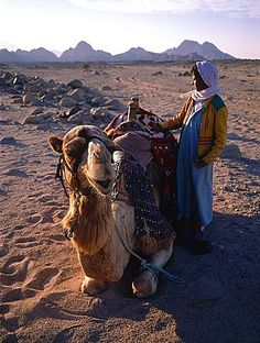 Egypt, Sinai Desert, Bedouin And His Camel Near Sharm El-Sheikh