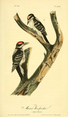 v 4 - The birds of America :John James Audubon - Biodiversity Heritage Library - Maria's Woodpecker Fisher, Birds Of America, John James Audubon, Buy Birds, Bird Illustration, Bird Prints, Natural History, Original Art, Canvas Art