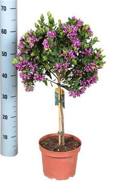 Sweet Pea Shrub Best4Garden Online Garden Products