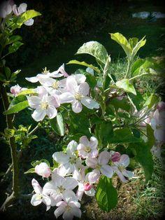 Pommier rose Golden
