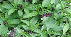 The name of this powerful natural antibiotic and most powerful antioxidant is basil – the King of Herbs. Basil is one of the ancient and [...]